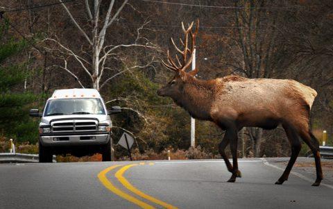 cervo che attraversa 480x301 - Home