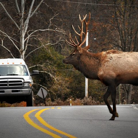 cervo che attraversa 480x480 - Blog